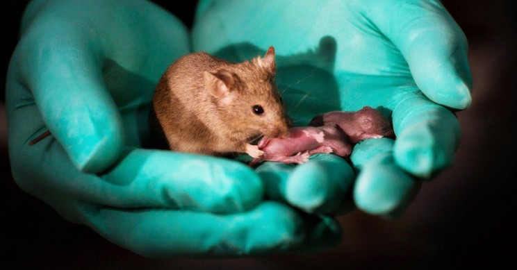 Healthy Mice Born From Same-Sex Parents For First Time Ever