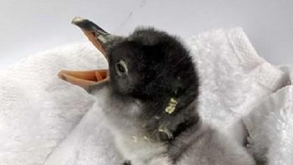 Same-Sex Penguin Partners Become New Parents
