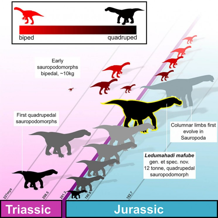 Graphical representation showing how dinosaur limbs evolved during the Jurassic era.