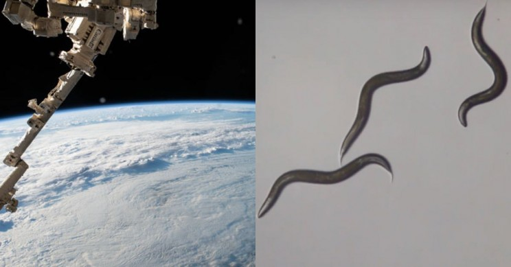 Thousands of Worms Will Be Sent Into Space to Study Muscle Loss in Humans
