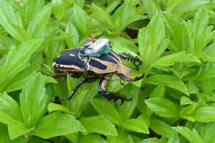 remote-control-giant-flower-beetles-5