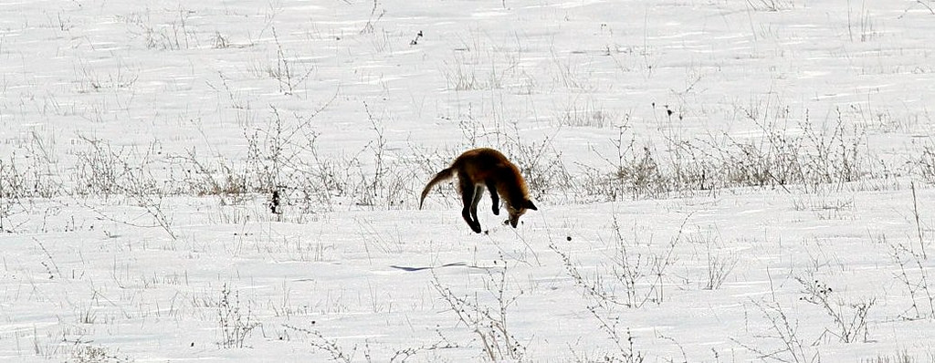 fox pounce prey magnetic field