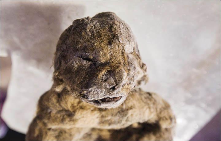 extinct siberian lion cloning