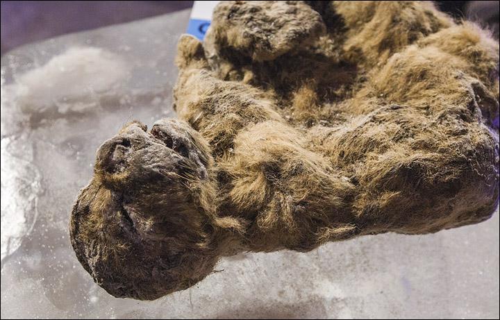 extinct siberian lion frozen cloning