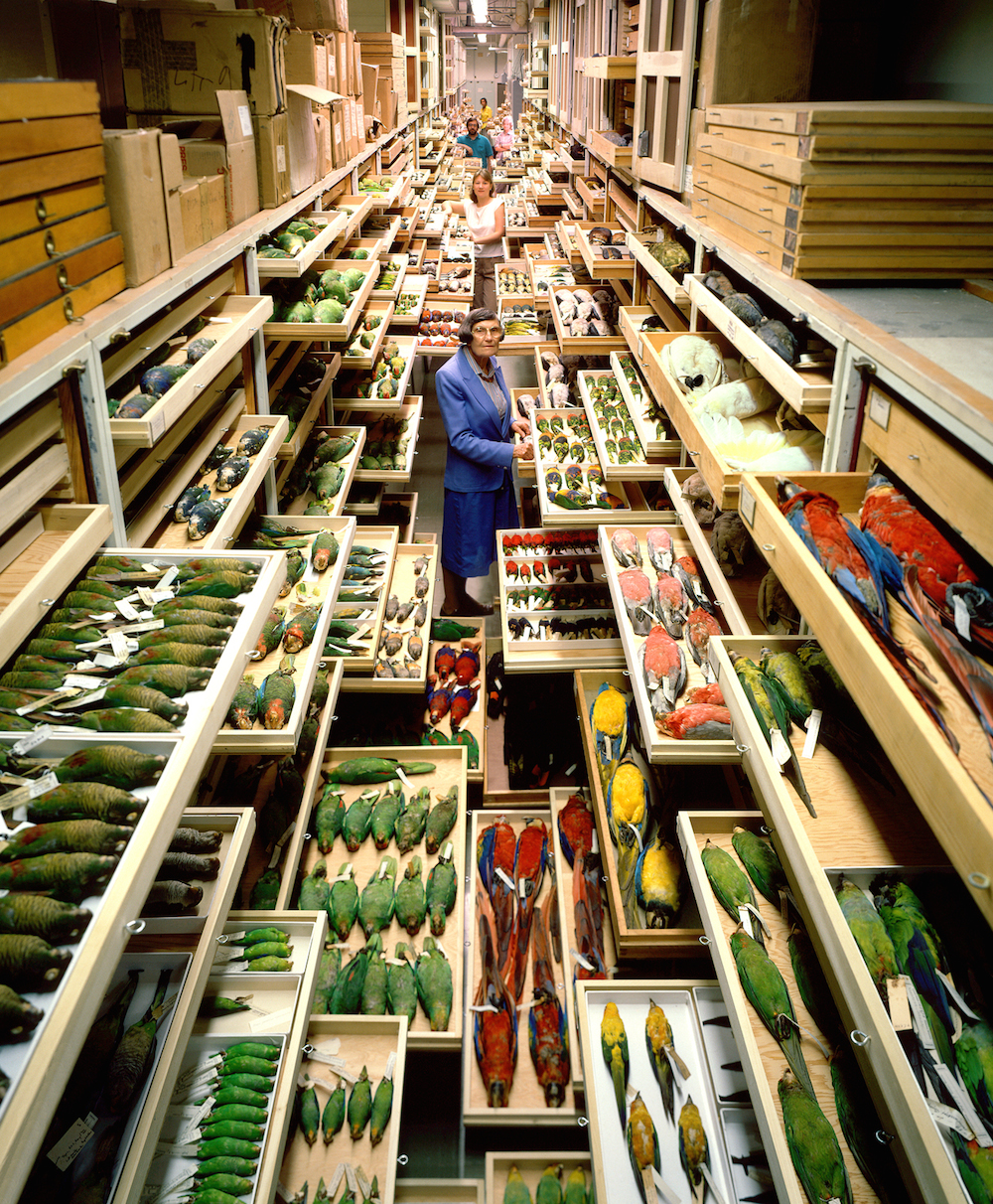 Birds collections from the Department of Vertebrate Zoology are displayed at the Smithsonian Institution's National Museum of Natural History. In the foreground is Roxie Laybourne, a feather identification expert.