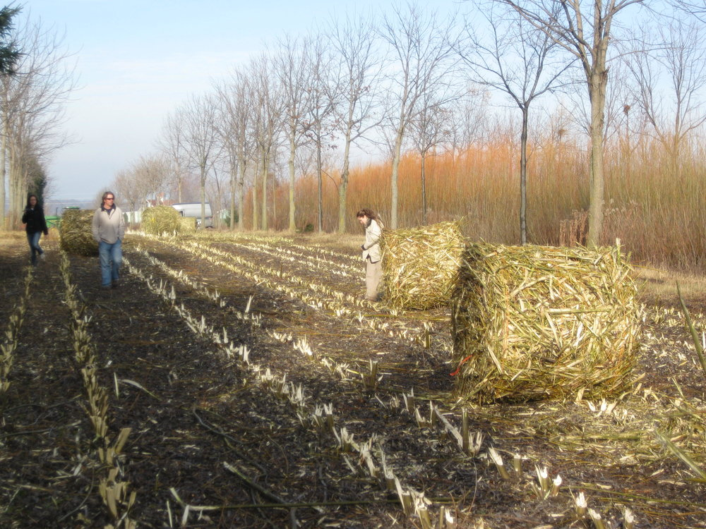 Harvesting willow biomass nat agroforestry centre Canada