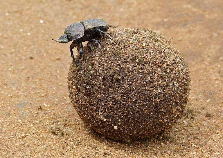 dung beetle with his poop