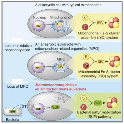 mitochondria diagram
