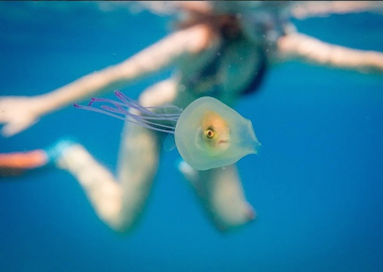 fish stuck in jellyfish