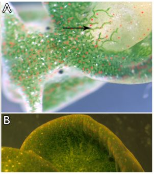 Anatomy of the sacoglossan mollusc Elysia chlorotica.(A) Sea slug consuming its obligate algal food Vaucheria litorea. Small, punctate green circles are the plastids located within the extensive digestive diverticula of the animal. (B) A defined tubule of the digestive diverticula extending into the parapodial region of the animal (arrow). The digestive system consists of densely packed tubules that branch throughout the animal's body. Each tubule is made up of a layer of single cells containing animal organelles and numerous algal plastids. This cell layer surrounds the lumen. (C) Magnified image of the epidermis of E. chlorotica showing densely packed plastids. The animals are light grey in color without their resident plastids, which contribute chlorophyll to render the sea slugs bright green.
