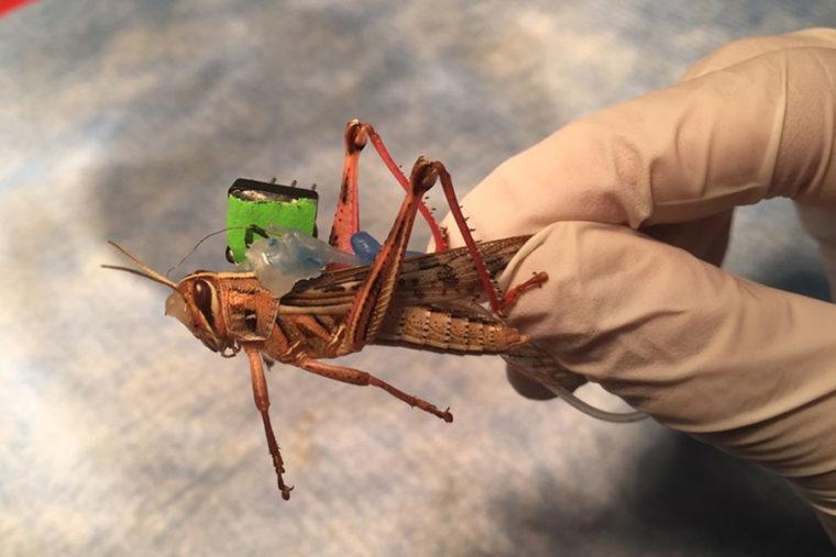 new locust wings
