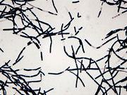 180px-bacillus