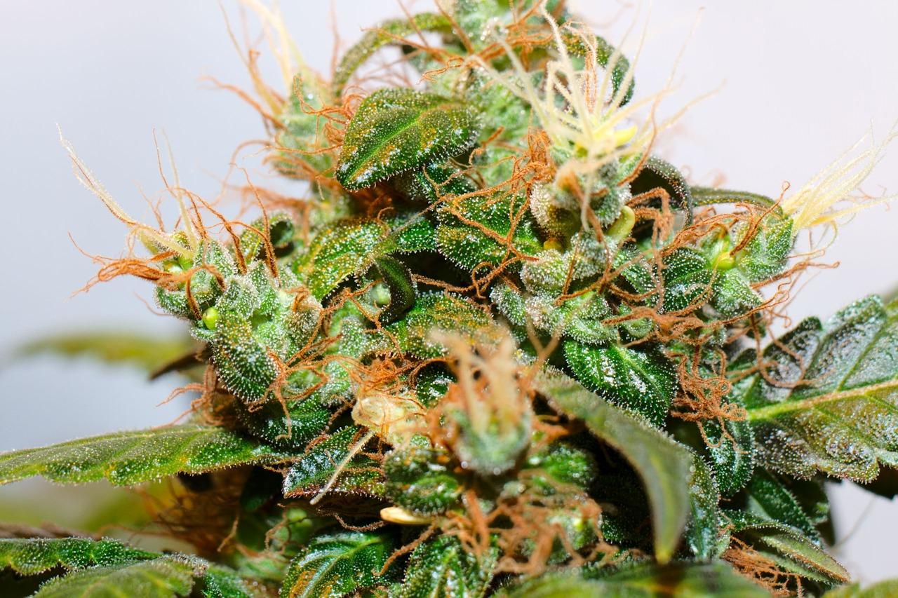 raw-weed3