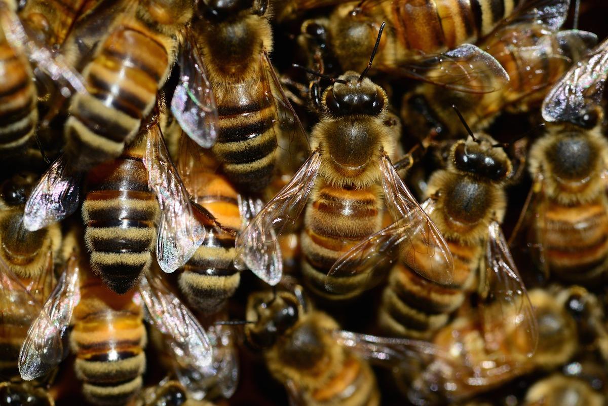 mithridates-honey-bee