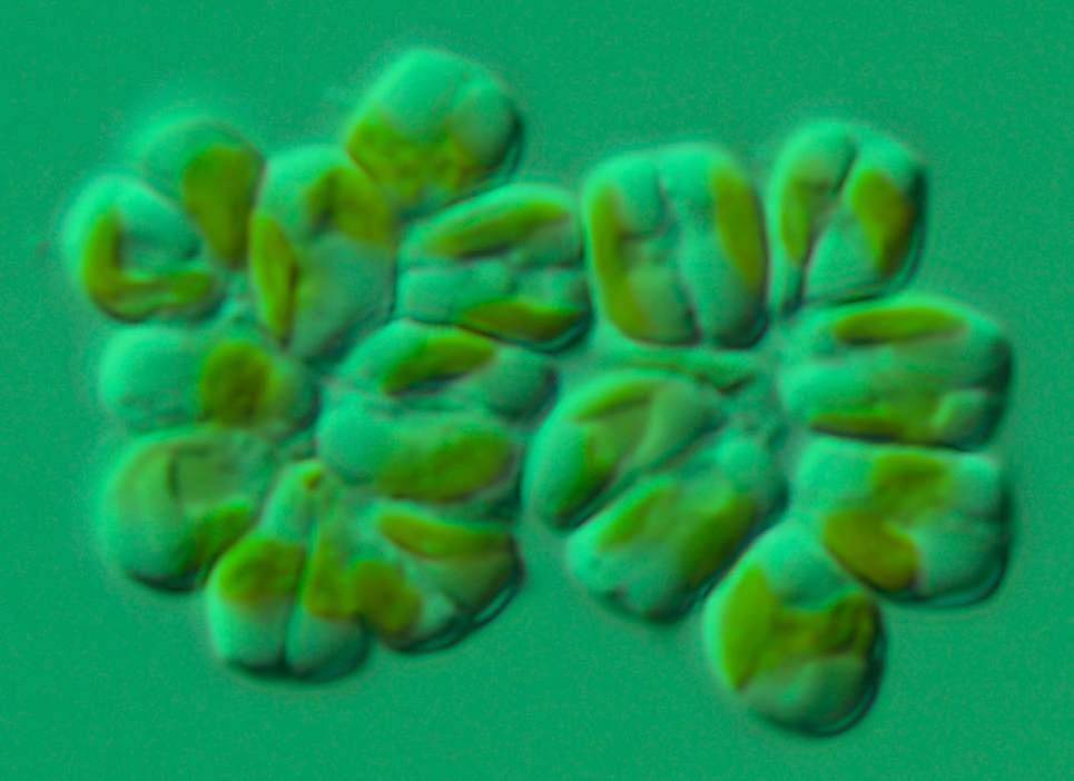 Microalgae: the Tiny Item of the Sea that Might Save Human Existence