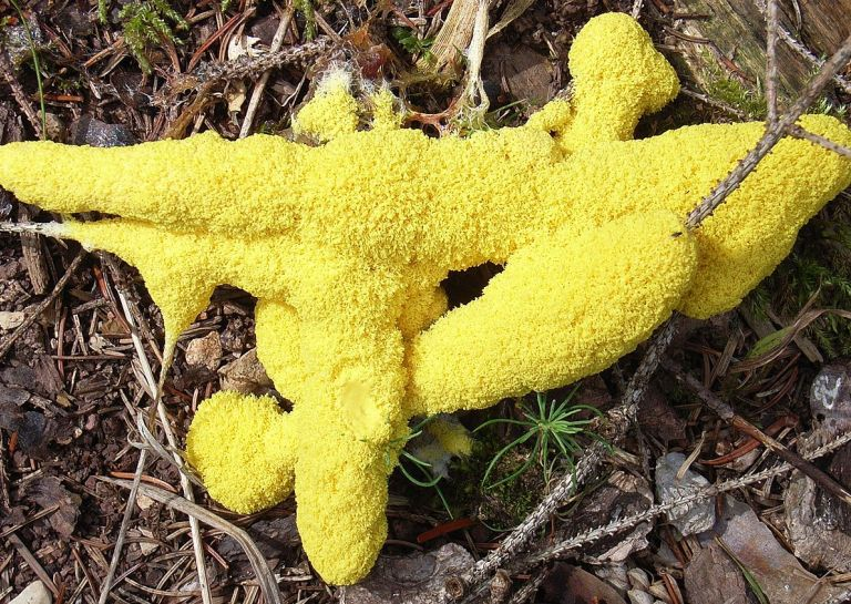 This Giant Blob Slime Mold can Learn Like Other Living Organisms