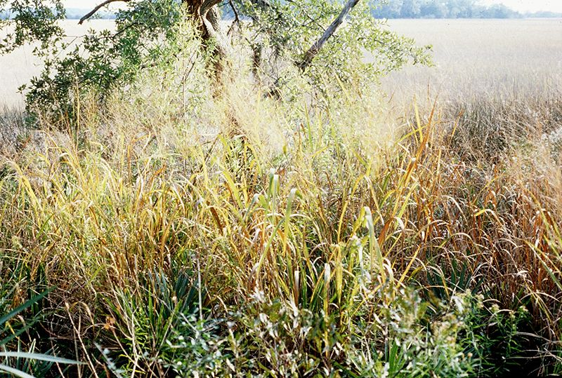 biofuel examples switchgrass
