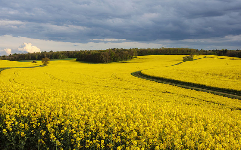 Seven Cool Biofuel Crops That We Use for Fuel Production