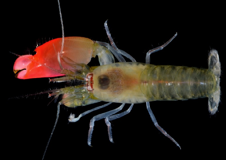 A bright pink shrimp with large claw