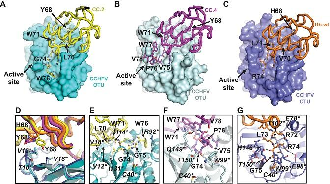 Human proteins were engineered to prevent MERS virus from multiplying