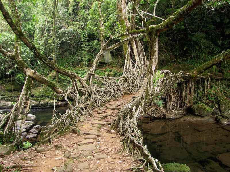 Living Root Bridges of Meghalaya: An Ingenious Engineering Solution