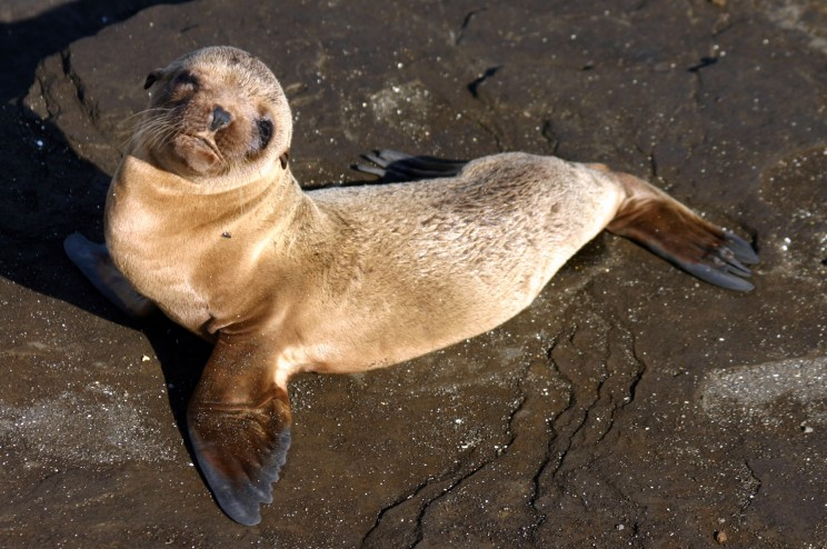 Galapagos baby sea lion