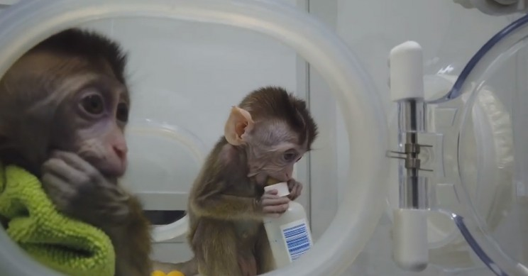 Genetically Altered Primates Cloned for the First Time