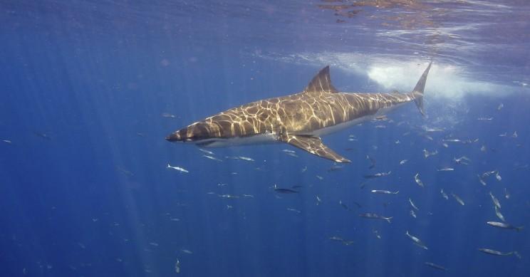 Underwater Ultrasound Reveals Shark Embryos Travel From Uterus-To-Uterus
