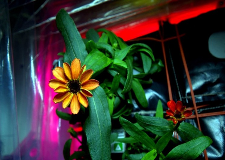 Astronauts successfully grow flower on International Space Station