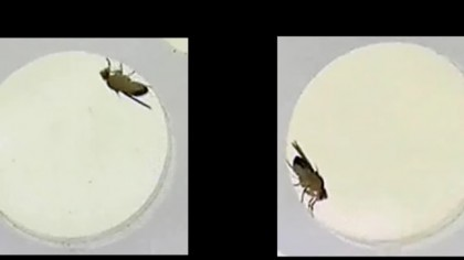 Can a fly be made to moonwalk?
