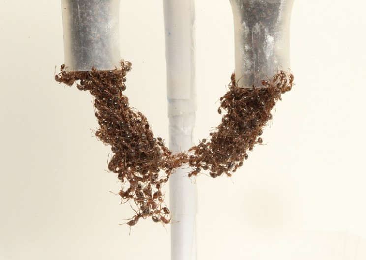 Ant Engineering: A liquid and a Solid?