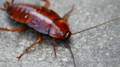 Cockroach Milk May be the Next Superfood According to Scientists