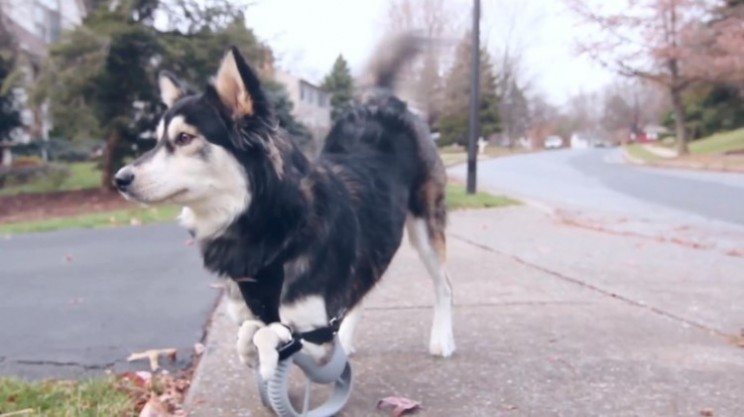 Derby the dog can lead normal life thanks to 3D printed legs