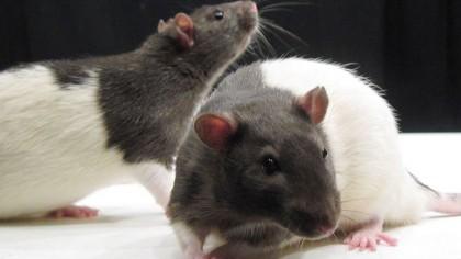 How Does the Brain Create Joy? Ask a Rat.
