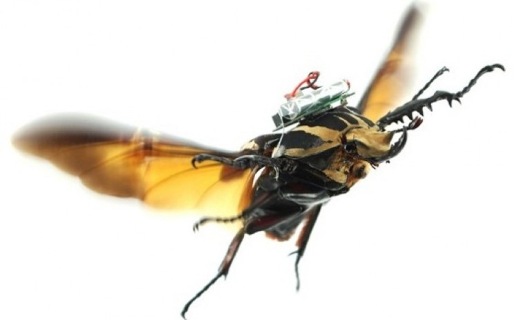 Remote controlled beetles flown by scientists
