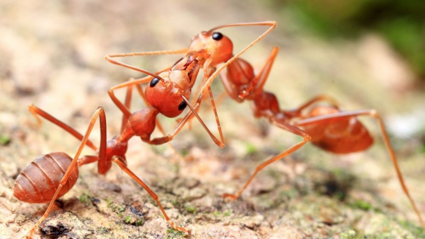Biomineral Armor - Shields Leaf-Cutter Ants in Battle? | IE - Interesting Engineering
