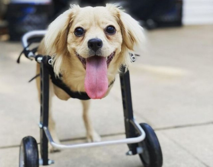 Two-Legged Puppy Gets Wheelchair Made of Legos Thanks to 12-Year-Old Boy