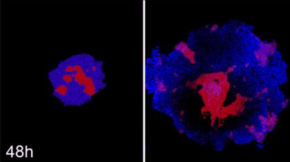 Researchers Organize Stem Cells Based on a Computational Model