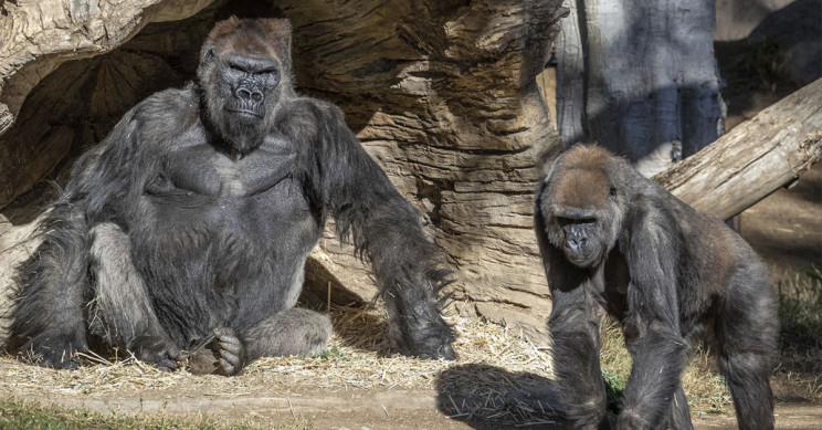 Gorillas Test Positive for COVID-19 at California Zoo
