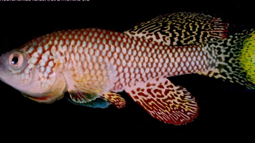 These African Turquoise Killifish