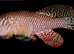"""These African Turquoise Killifish """"Press Pause"""" on Aging"""