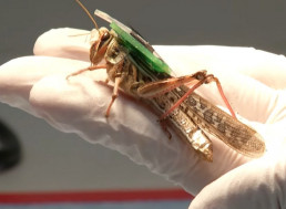 Scientists Designed Cyborg Grasshoppers That Sniff Out Bombs
