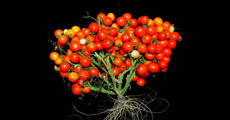 New Gene-Edited Tomatoes Can Now Be Grown In Grape-Like Bouquets