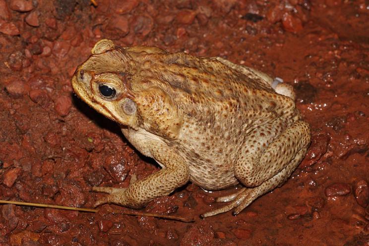 invasive species cane toad