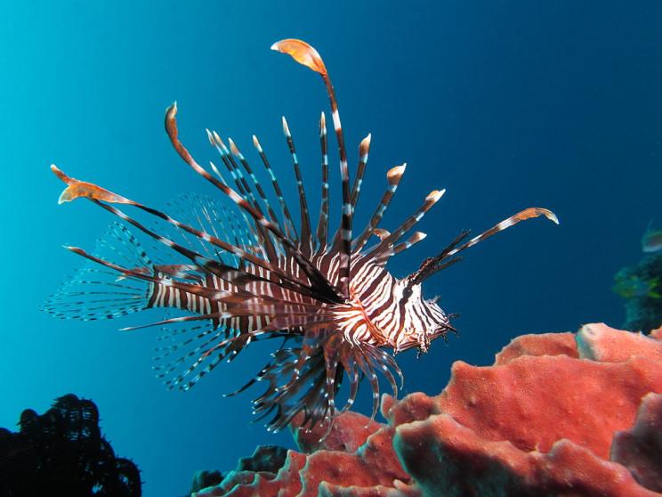 invasive species lionfish