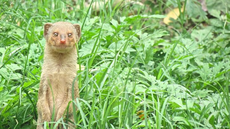 invasive species small indian mongoose