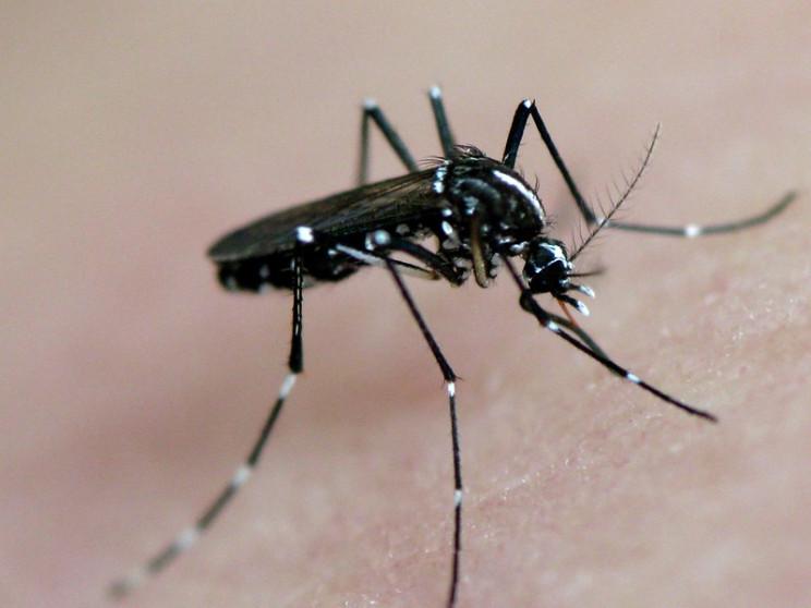 invasive species tiger mosquito