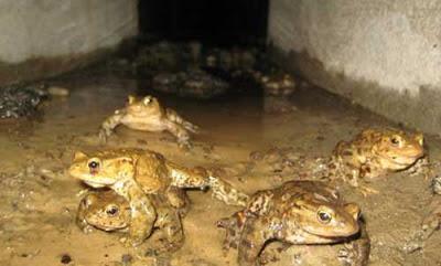 wildlife crossings toads