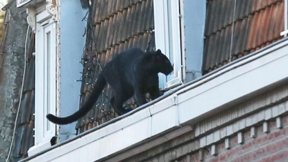 A Black Panther Hangs Out on Rooftops in Small French Town