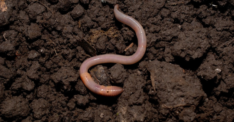 Microplastics in Topsoil Stunt the Growth of Earthworms